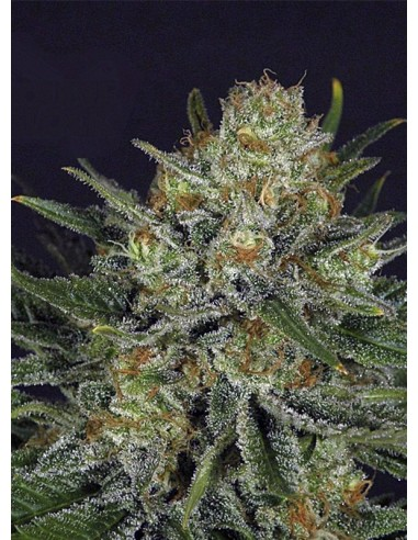 Ripper Seeds - Double Glock