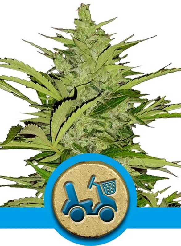 Royal Queen Seeds - Auto Fast Eddy