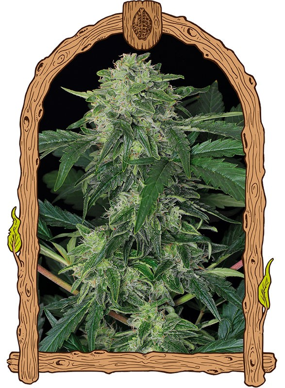 Exotic seed - Auto Jungle Fever