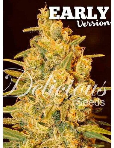 Delicious Seeds- Critical Sensi Star Early Version