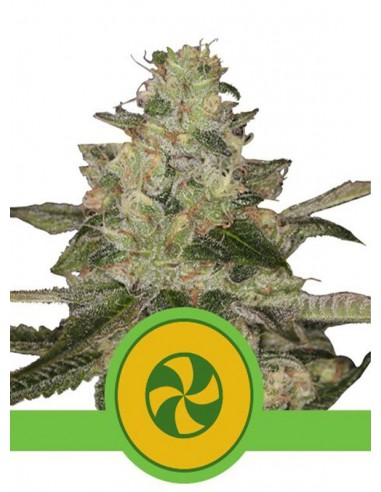 Royal Queen Seeds- Auto Sweet ZZ
