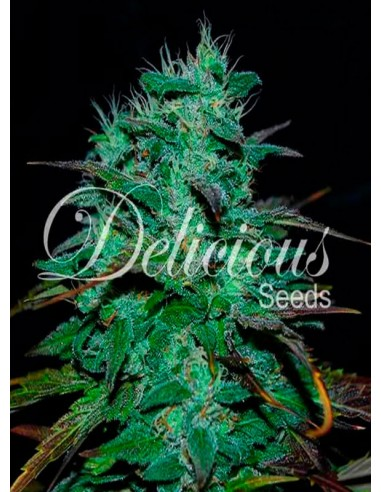 Delicious Seeds- Chocobang