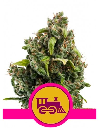 Royal Queen Seeds - Candy Kush...