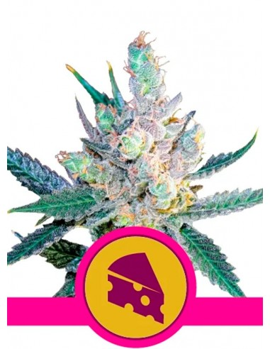 Royal Queen Seeds- Royal Cheese Fast...