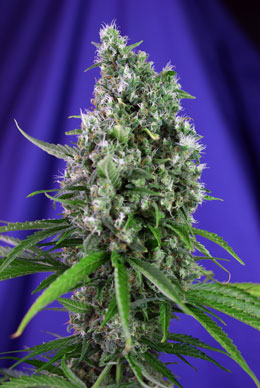 Sweet Trainwreck Auto (SWS47) de Sweet Seeds®