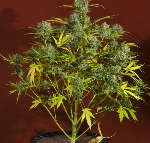 Sweet Trainwreck Auto de Sweet Seeds