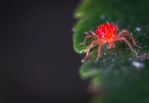 araña roja marihuana